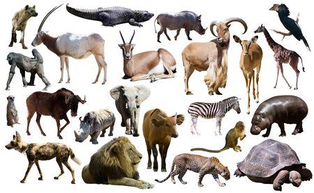 Ensemble de différents animaux africains isolés sur blanc Banque d'images