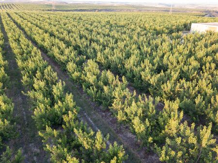 Panoramic view from drone of fruit farms with peach trees Stock fotó
