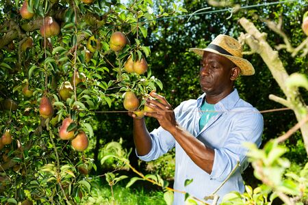 Focused African American man gathering harvest of ripe pears in his orchard on sunny day