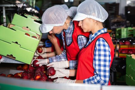 Young diligent efficient  friendly  women in uniform during packaging peaches on crates at warehouse, checking quality of fruits