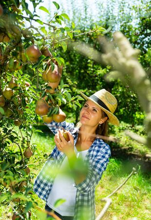 Young attractive woman farmer harvesting ripe pears from tree in fruit garden