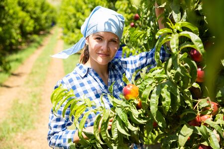 Woman gardener in kerchief during harvesting of nectarines in garden at sunny day