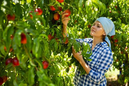 Woman gardener in kerchief during harvesting of nectarines in garden at sunny day