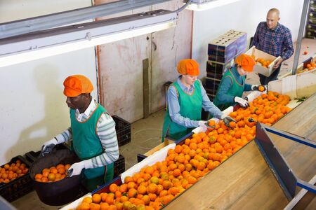 High angle view of group of glad  friendly people working on citrus sorting line at warehouse, checking quality of tangerines