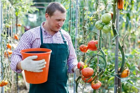 Smiling man  professional gardener picking tomatoes to bucket in sunny greenhouse