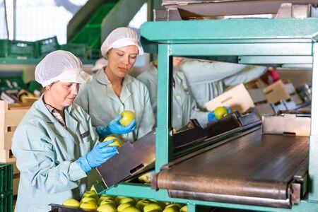Las mujeres que trabajan en una línea de clasificación de producción en el almacén de frutas, preparando manzanas para el envasado Foto de archivo