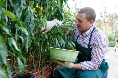 Man gardener attentively working with harvest of  peppers  in  garden
