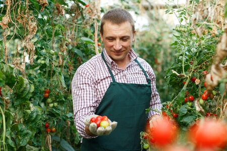 Male  professional horticulturist  looking  harvest of  tomatoes  in  hothouse indoor Stock fotó