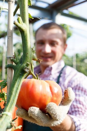 Portrait of man  gardener picking harvest of tomatoes to bucket in  sunny greenhouse