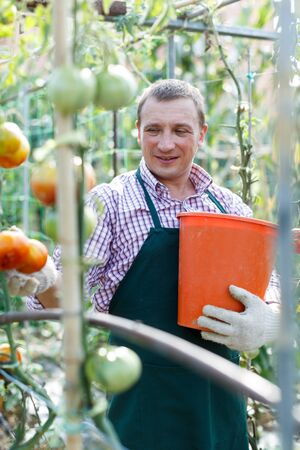 Positive man  professional horticulturist picking harvest of tomatoes to bucket in  greenhouse Stock fotó