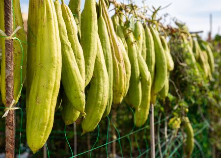 Sponge Gourd (Luffa aegyptiaca) is dried on the fence Stock fotó