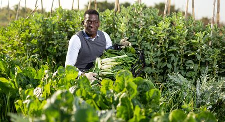 African-American man gathering in crops of leaf beets in his spring vegetable garden Banco de Imagens