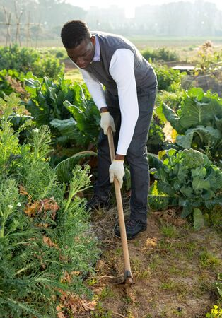 African-American man taking care of cauliflower in his vegetable garden, weeding with hoe