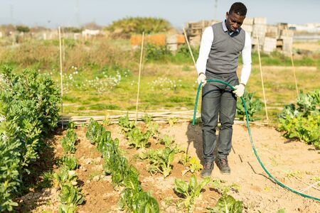 African-American man taking care of plants in his vegetable garden, watering leaf beets from garden hose