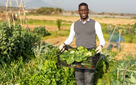 Portrait of satisfied African-American farmer with box of freshly harvested leaf beets in his vegetable garden