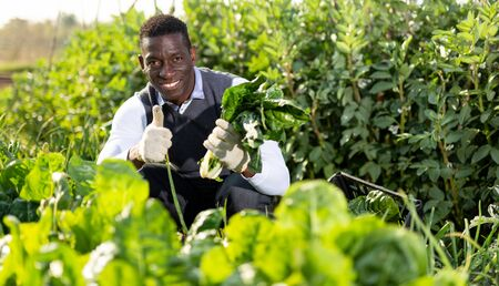 Portrait of happy African-American man giving thumbs up, satisfied with harvest of Swiss chard cultivated at his smallholding Banco de Imagens