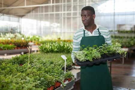 Experienced African American male florist engaged in cultivation of potted ornamental hedera mix in greenhouse