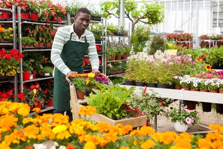 African American flower vendor carrying cart with ornamental plants in pots, preparing order for flower delivery in his floral shop