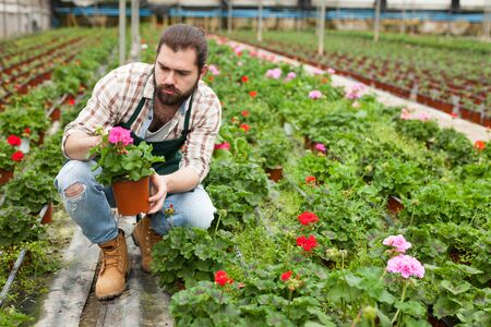 Male worker controlling quality of geranium flowers in greenhouse farm