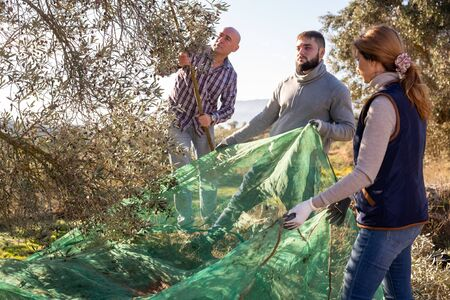 Farmer family engaged in growing olives, picking fresh olives from trees on autumn day