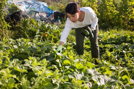 Portrait of Asian female worker picking ripe zucchini at farm Stock Photo