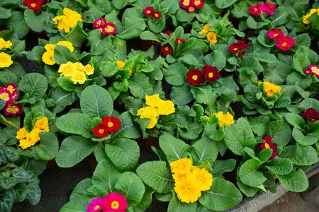 Close up view of flowering primula plants growing in pots in greenhouse