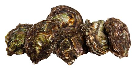 Seafood appetizer. Raw closed Pacific oysters. Isolated over white background