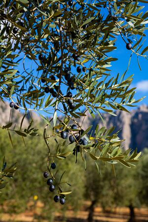Closeup of olive tree branches with ripe black olives on plantation. Harvest time