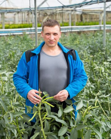 Skilled farmer engaged in cultivation of Vicia faba in greenhouse, controlling plants growth process