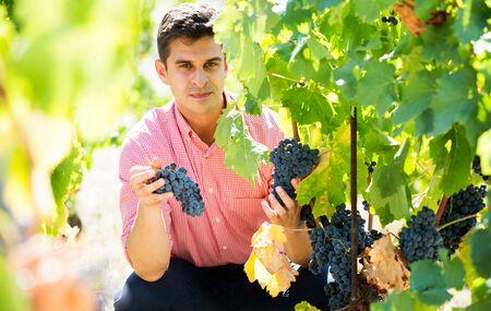 Positive young man harvesting ripe grape in farm at summertime