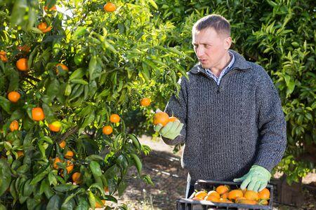 Successful male owner of citrus farm gathering harvest of ripe mandarins