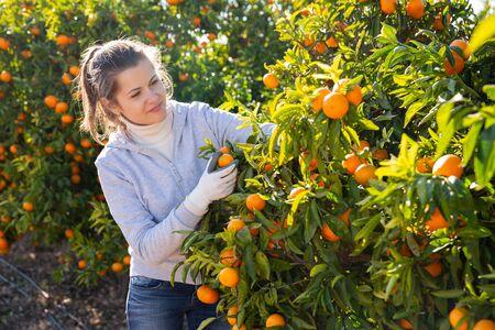 Retrato de mujer sonriente cosechando mandarinas maduras en plantaciones orgánicas