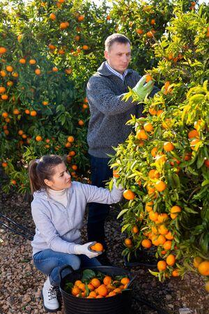 Male and female farmers picking carefully ripe mandarins on plantation