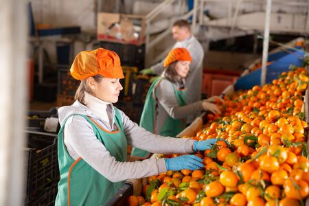 Female employees working on the producing sorting line at fruit warehouse, preparing mandarins for packaging and storing