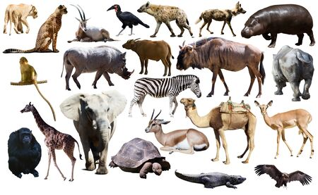 Collage with African mammals and birds isolated over white background
