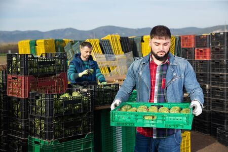Young worker carrying crates with freshly harvested artichokes on farm plantation Archivio Fotografico