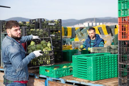 Focused bearded worker carrying crates with freshly harvested artichokes on farm plantation