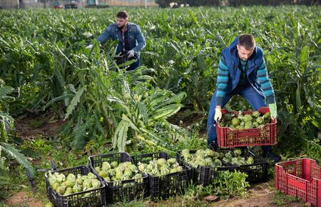 Male farm worker carrying crates with freshly harvested ripe artichokes on field