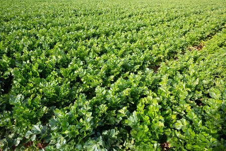 View of field planted with ripening celery. Popular leafy vegetable crop