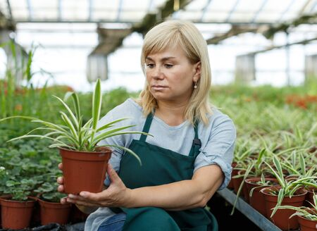 Mature female florist in apron working with plants of cinta in pots in hothouse