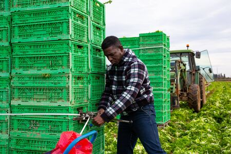 Glad African American worker fastening stack of plastic boxes with freshly picked green lettuce on farm field, preparing harvest for transportation