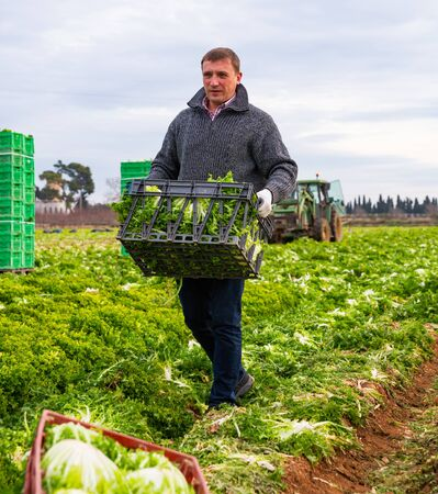 Focused man engaged in frisee lettuce growing, carrying crates with freshly harvested leafy vegetables on farm field