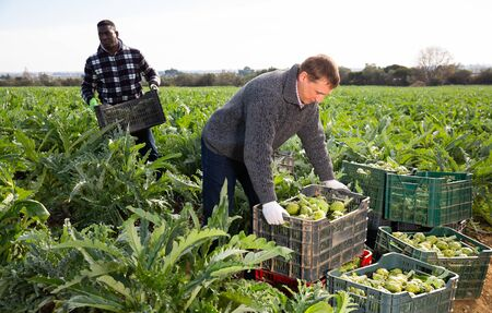 Farm workers preparing crates with freshly harvested artichokes for storage or delivery to stores on farm plantation