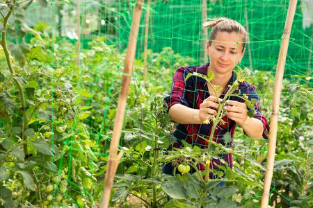 Confident woman farmer working in hothouse, fastening tomato plants on supporting netting