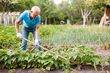 Farmer weeds potatoes with a hoe in the garden