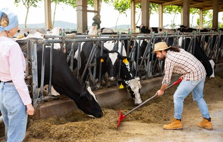 Professional young breeder feeding cows with hay in stall of dairy farm Stock Photo