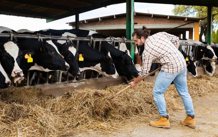 Young positive breeder feeding cows with hay in cowshed of dairy farm Stock Photo