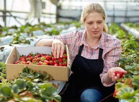 Portrait of female gardener in apron picking harvest of fresh strawberries in hothouse