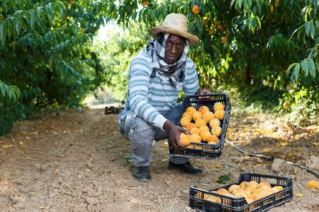 Satisfied male owner of orchard showing freshly picked peaches in plastic boxes