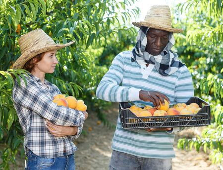 Portrait of couple of happy farmers harvesting ripe peaches in fruit garden